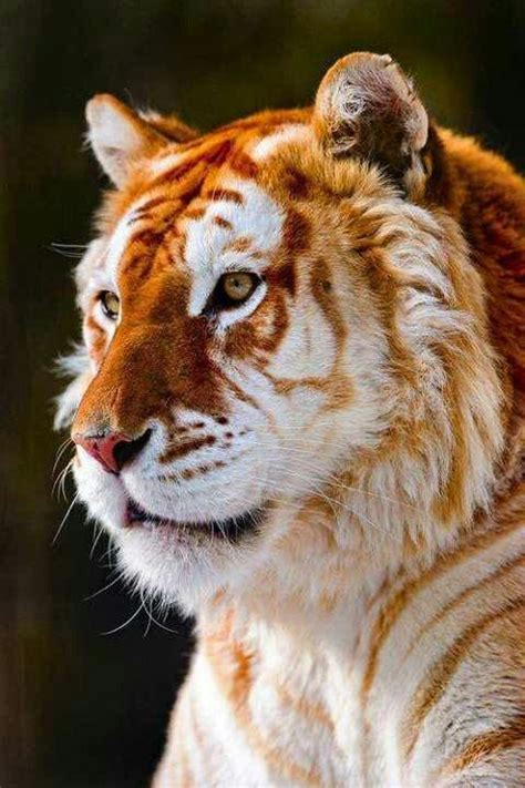 Beautiful Golden Tiger Animals Cute