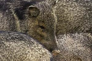Collared Peccary (Pecari tajacu) | about animals