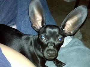 Chihuahua Dachshund Chiweenie Dogs