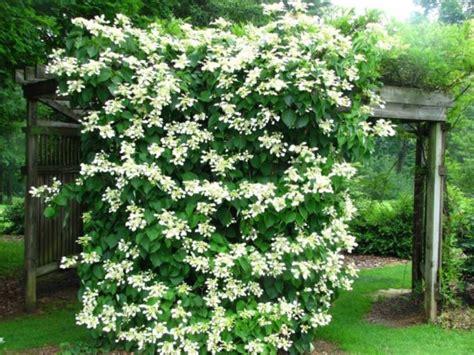 climbing plants for shade in pots 19 best climbing plants for pergolas and trellises hydrangea garden web and balcony gardening