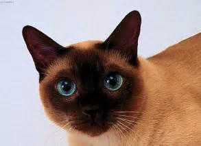 thai cat photos thai cat pictures images