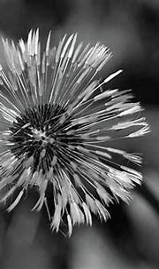 A dandelion on Inch Island in County Donegal Ireland.