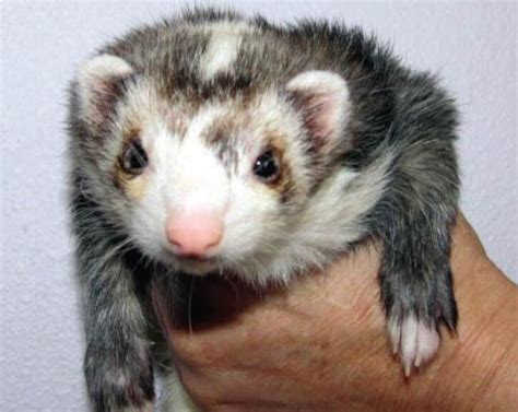 Ferret Colors And Markings From Vetstream