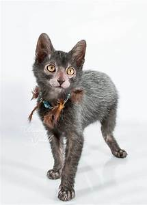 1000+ images about The Lykoi Cat on Pinterest | Cats ...
