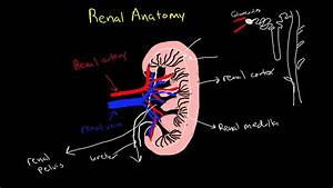 Renal Physiology  Review Of Anatomy Of The Kidney