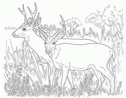 Coloring Deer Mule Pages Drawing Popular
