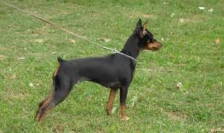 german pincher german pinscher breeds picture