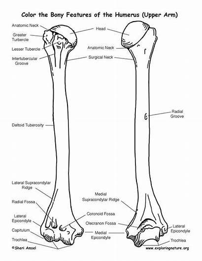 Humerus Coloring Features Bony Bone Anatomy Pages