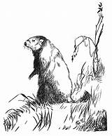 Groundhog Coloring Standing sketch template