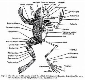Muscular System Of Toad  With Diagram
