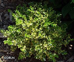 pin buxus microphylla var koreana winter gem little leaf With wedding ring boxwood