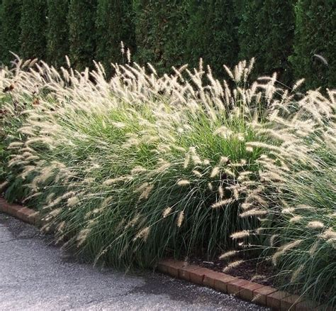 pennisetum alopecuroides hameln erica enterprises grasses