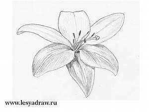 Zeichnungen Mit Bleistift Für Anfänger : wie die lilie vom bleistift f r die anf nger zu zeichnen ~ Frokenaadalensverden.com Haus und Dekorationen