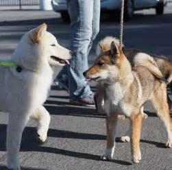 Korean Jindo Dog Breed