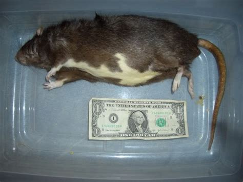 live and frozen feeder rats for sale in middle tennessee