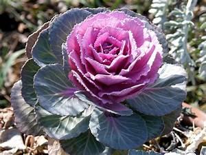 Planter Des Choux Fleurs : brassica purple brassica flowers and fillers flowers by category sierra flower finder ~ Melissatoandfro.com Idées de Décoration