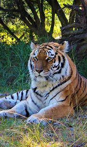 Siberian Tiger   Jukani Wildlife Sanctuary, Plettenberg ...