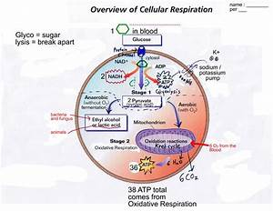 On A Blank White Paper Draw And Label Cellular Respiration