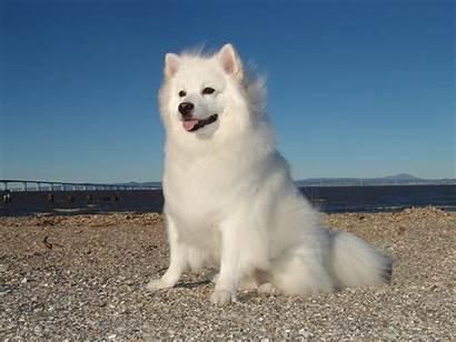 Eskimo American Dog Dogs Breed Samoyed Spitz