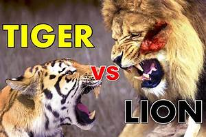 What Is Faster A Lion Or A Tiger - The Best Lion Of 2018