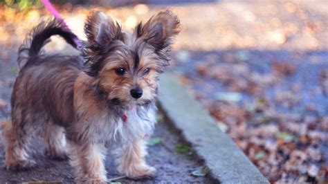 Chorkie Chihuahua Yorkshire Terrier Breed Profile