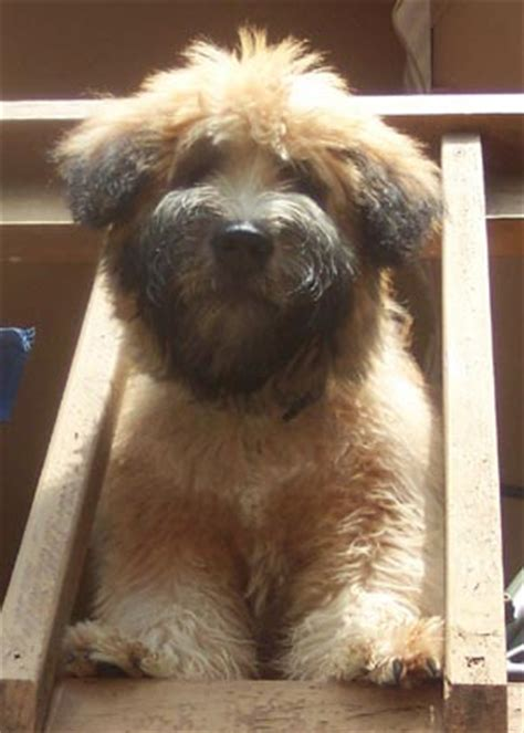 soft coated wheaten terrier puppies breeders wheaten terriers