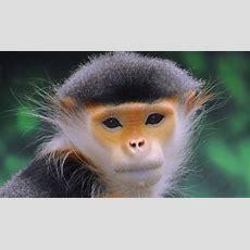 Old World Monkeys  Facts, Information & Habitat