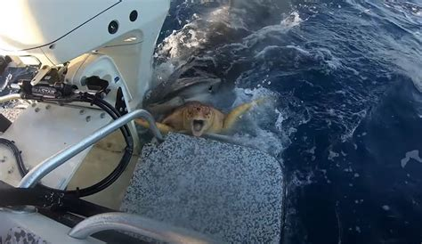 Watch These Guys Rescue a Sea Turtle From a Tiger Shark's ...