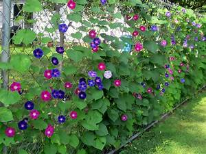 Growing Morning Glories and clematis up chain link fence ...