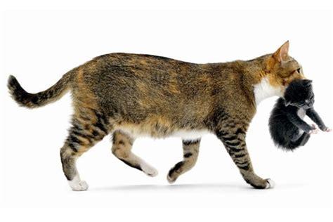 combien de portee par an pour un chat le sevrage du chaton expliqu 233 le de loukoum