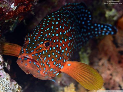 red fish  blue spots  hd desktop wallpaper