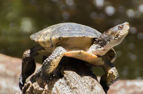 western pond turtle facts  pictures