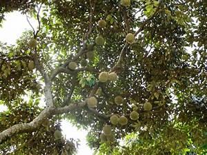 durian tree | Sri Lanka--week 3 | Pinterest | Durian tree