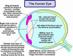 The Human Eye And Its Function