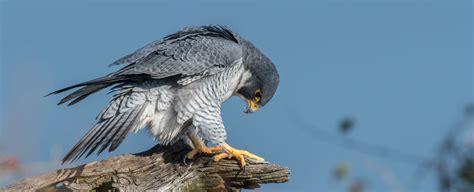 falcon symbolism falcon meaning falcon totem falcon