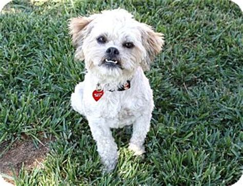 Lhasa Apso Mix Shedding Griffin I Do Not Shed Adopted Bellflower Ca Lhasa Apso Brussels Griffon Mix
