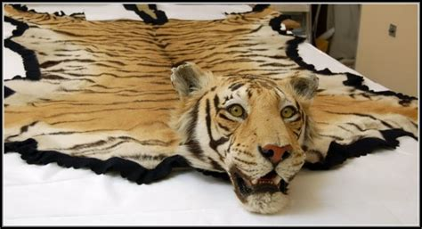 real skin rug real tiger skin rug rugs home decorating ideas d7pn6z4pmo
