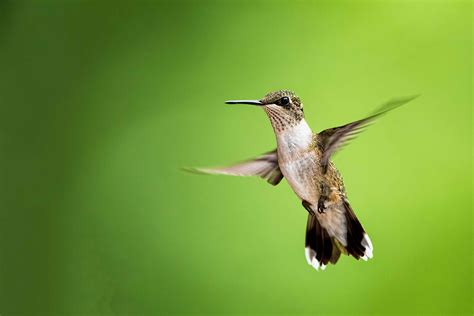 heat l for hummingbirds recent favorite images stephen l tabone nature photography