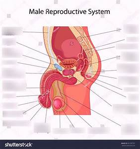Female Reproductive System Worksheet Quizlet