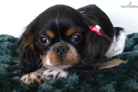 english toy spaniel puppy  sale  las vegas nevada