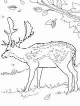 Coloring Deer Pages Printable sketch template