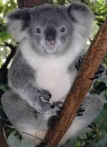 コアラ:File:Friendly Female Koala.JPG - Wikipedia