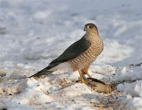 sharp shinned hawk facts habitat diet call images