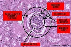 renal-corpuscle-slide-labelled-histology - SchoolWorkHelper