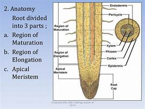 Corn Root Diagram Sorghum Seed Diagram ~ Elsavadorla