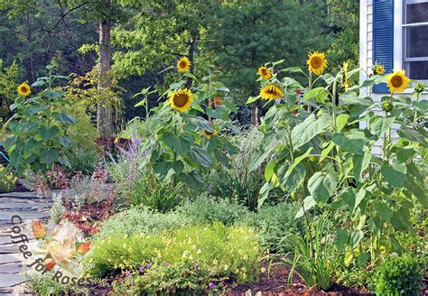 coffee for roses 187 grow a sunflower forest this summer