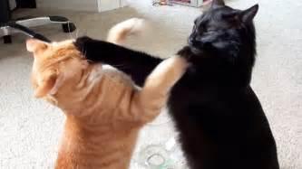 fighting cat epic cat fight compilation