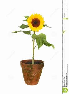 Sunflower In Pot Stock Photo - Image: 46250852
