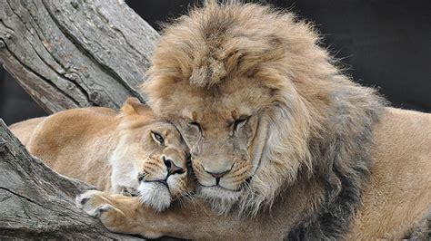 unik  hewan merayu kawin pasangannya info seger