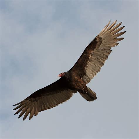 the return of the turkey vulture adirondack explorer